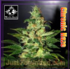 WOS Legend Collection Chronic Haze Fem 3 Seeds